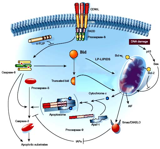 role of mitochondria in apoptosis pdf